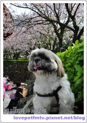15 13.2010年3月_天元宮賞櫻.jpg