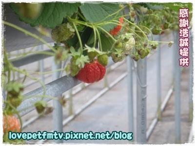 4草莓園.JPG