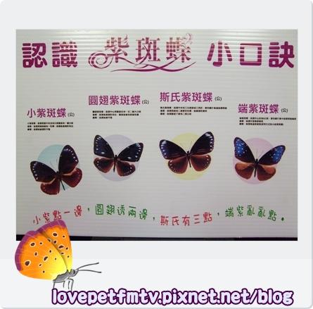 紫斑蝶9更新.jpg