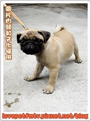 巴哥犬.jpg