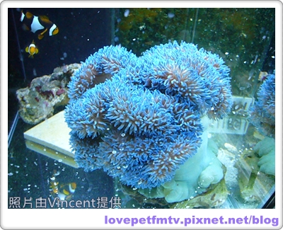32 長鬚藍地毯海葵.JPG