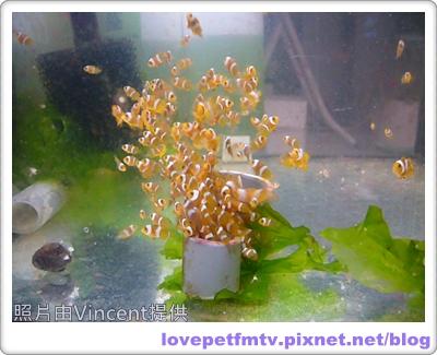 14 14.小小小丑魚1.JPG