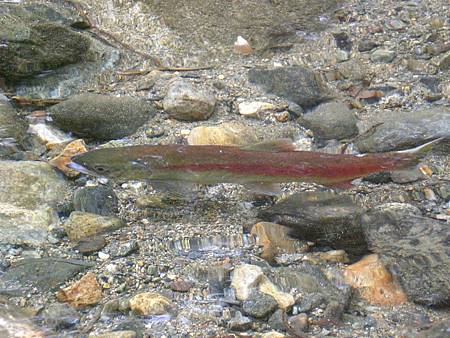 Oct182008 kokanee salmon