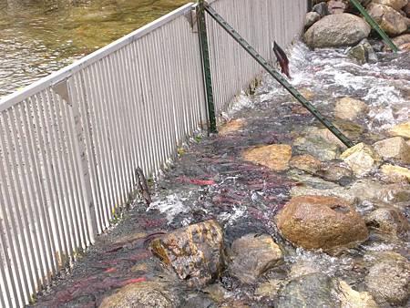 Oct182008 kokanee salmon - jumping
