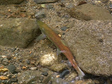 Oct182008 kokanee salmon - close-up