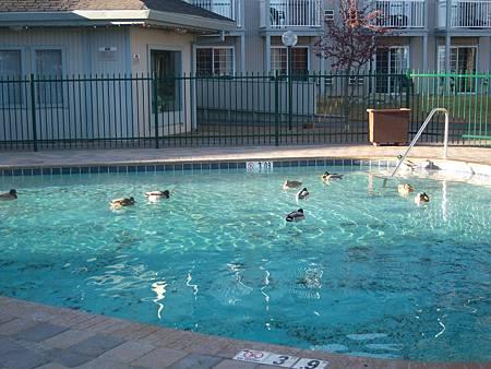 Dec042011 綠頭鴨 Mallard in the pool _1