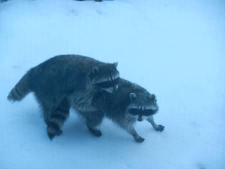 Feb252012 Raccoon Style