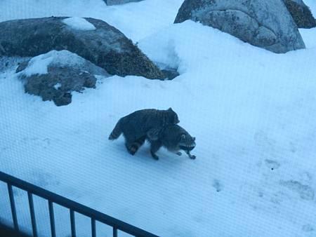 Feb252012 浣熊上