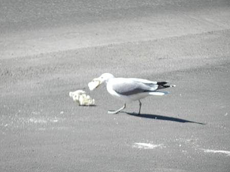 Mar102012 sea gull