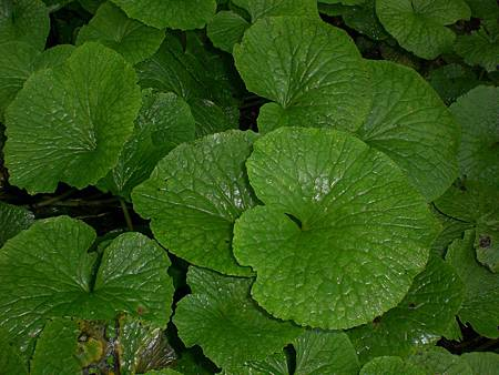 Jun112009 wasabi plants