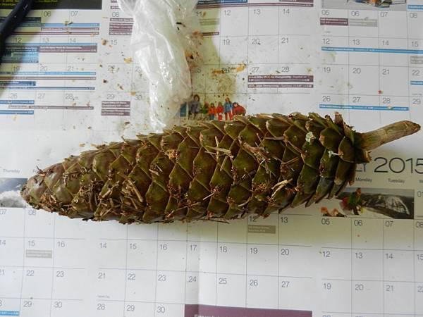 Aug092014 sugar pine (Pinus lambertiana)_2