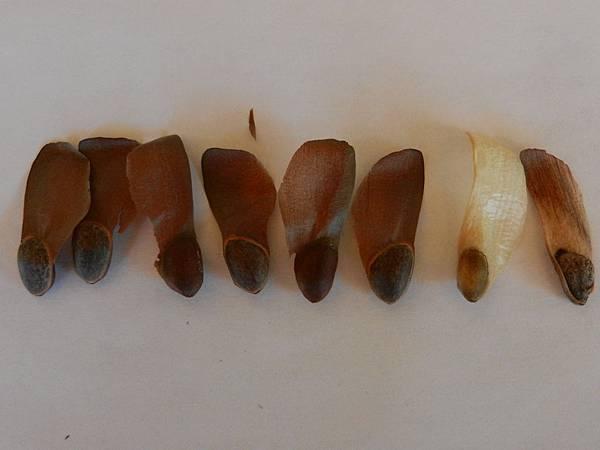 Sep172012 sugar ine nuts vs Jeffrey pine nuts