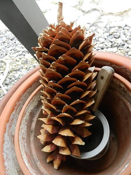 May262014 sugar pine cone