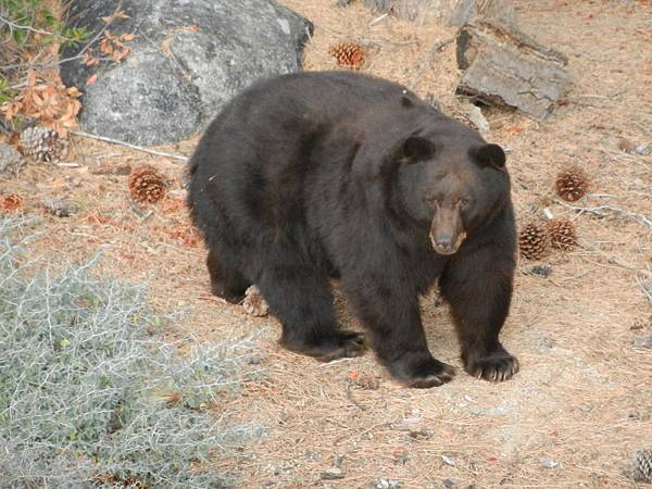 California black bear ( Ursus americanus californiensis )