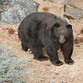 California black bear ( Ursus americanus californiensis )