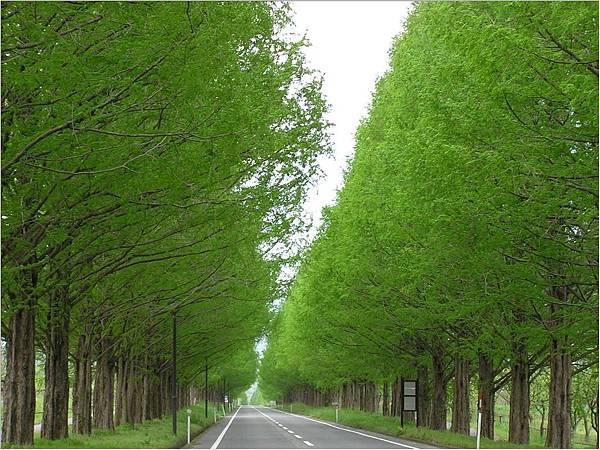 水杉並木-夏.jpg