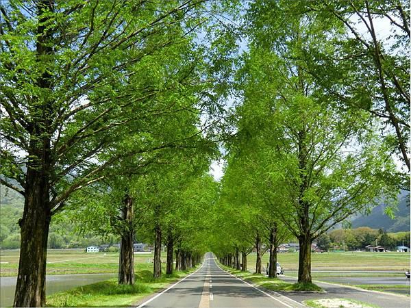 水杉並木-春.jpg