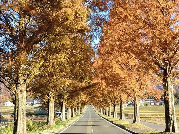 水杉並木-秋.jpg