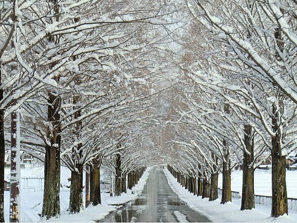 水杉並木-冬.jpg