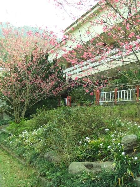 櫻花開了!