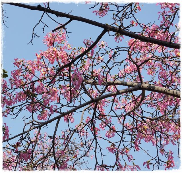 尊天宮美人樹