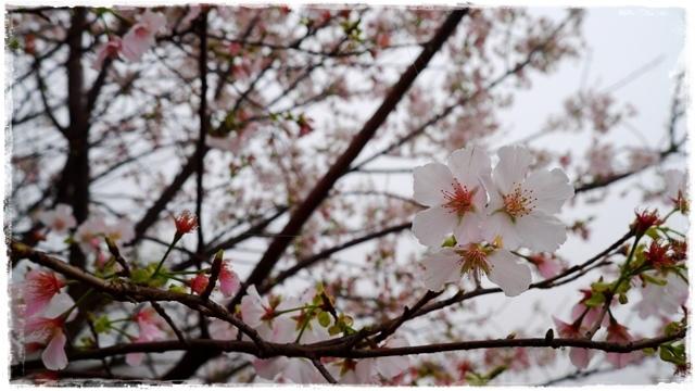 楓樹湖賞木蓮花