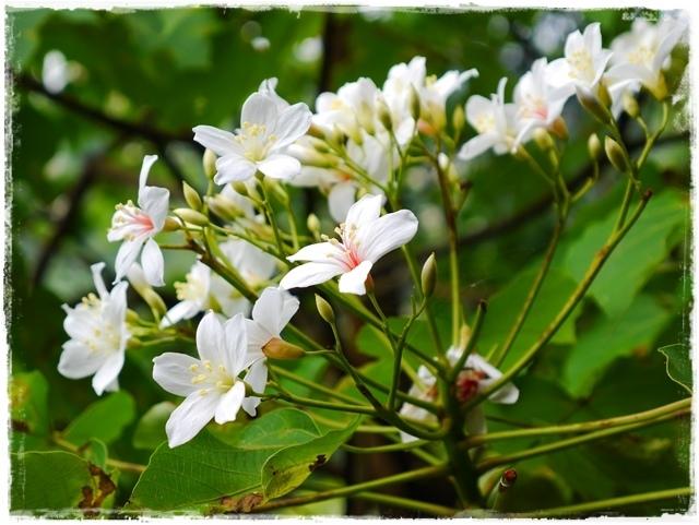 土城天上山賞桐花與巴西鳶尾花