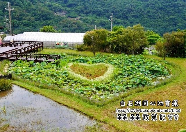 白石湖同心池賞蓮