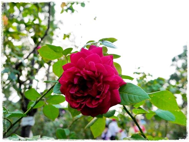 臺北玫瑰園秋季玫瑰展