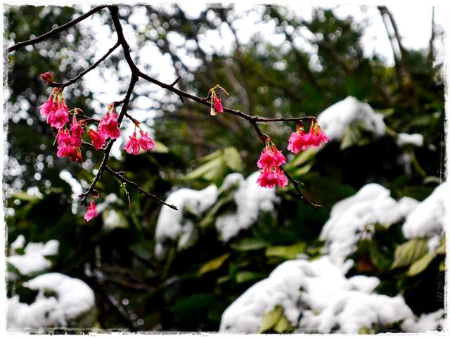 新店獅仔頭山。賞櫻與雪