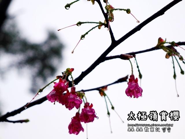太極嶺賞櫻