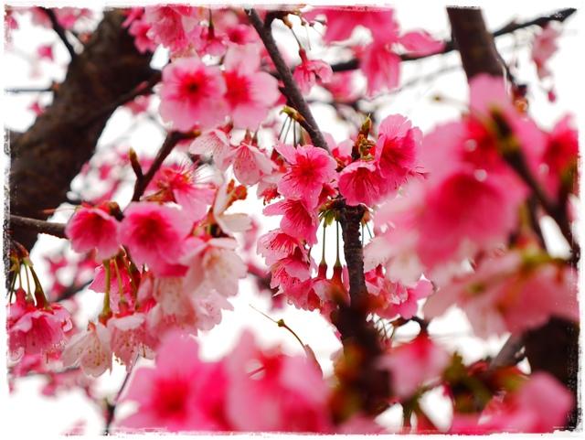 內湖樂活公園東湖櫻花林