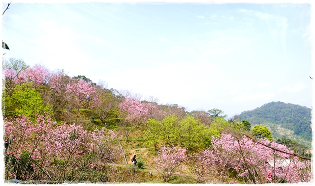 騰龍御櫻新店木柵老泉里滿山櫻花林秘境