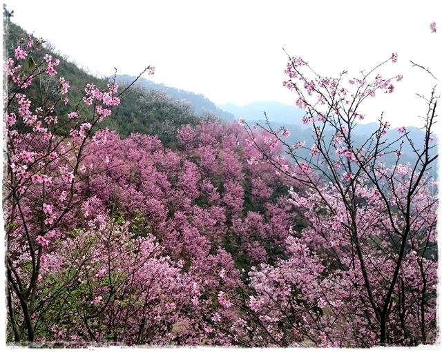 三峽竹崙路櫻花谷秘境