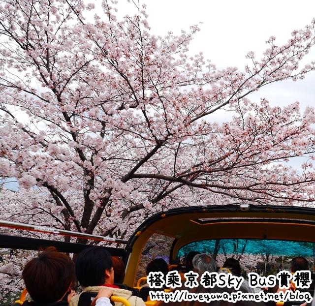 搭乘京都SKY BUS賞櫻