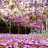 紫藤咖啡園淡水天元宮紫藤秘境
