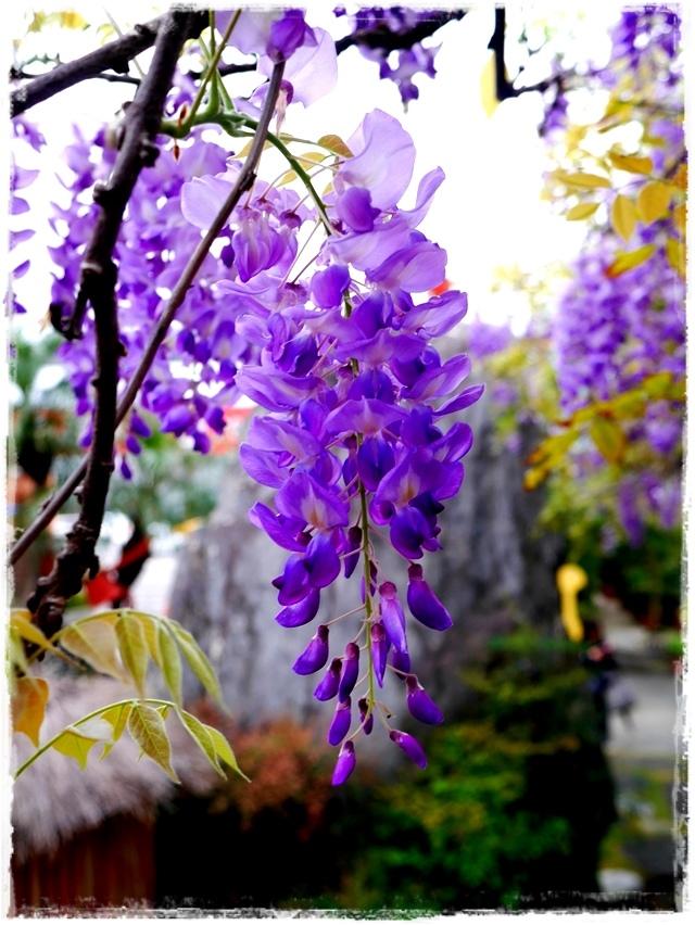 台北花卉村賞紫藤白色紫藤