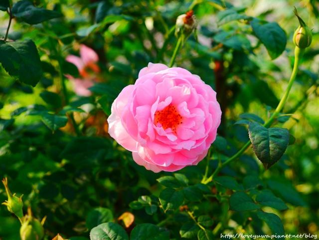 台北花博新生玫瑰園