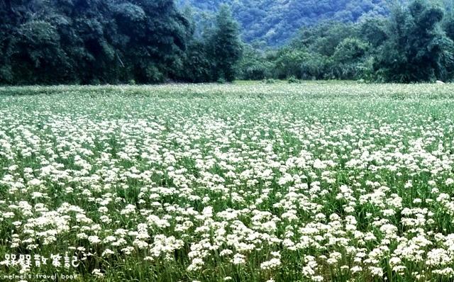 大溪九月雪韭菜花海