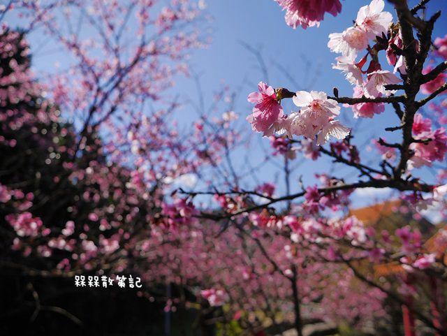 櫻花公園賞櫻