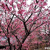 樂活公園賞櫻
