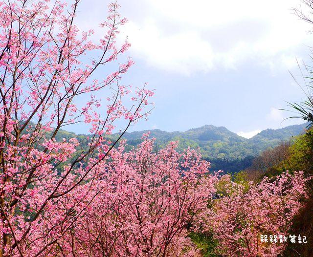 三峽櫻花秘境-櫻花控根科技農場~熊空櫻花林