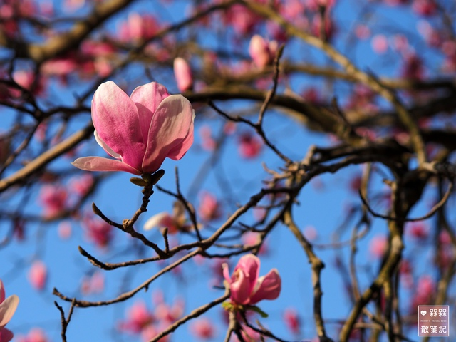 楓樹湖木蓮花