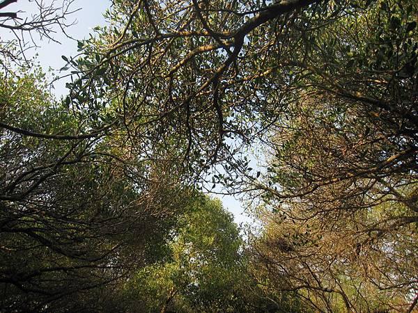 台灣秘境-迷你版亞馬遜河-台南四草生態園區-綠色隧道_17.JPG