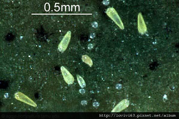 5AQ300_Phyl-olei_USA_aggie-horticulture-tamu-edu_WEBNoGo_MX.jpg