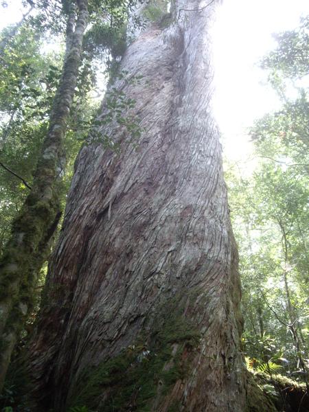 扭曲的巨木.JPG