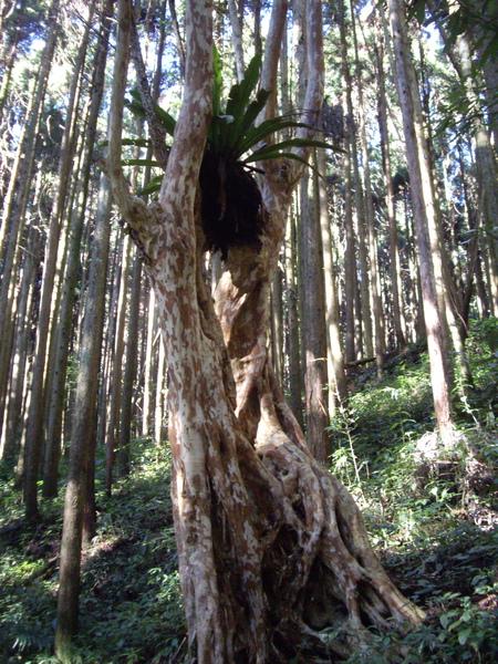 樹皮好像長頸鹿的花紋.jpg