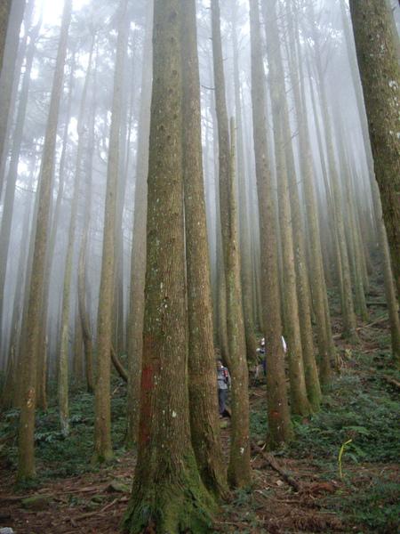 整齊並排的人造林.jpg