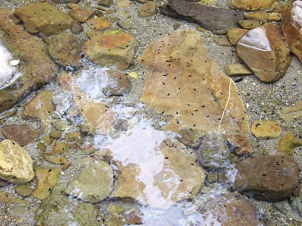 風美溪的生態~蝌蚪遍布.JPG
