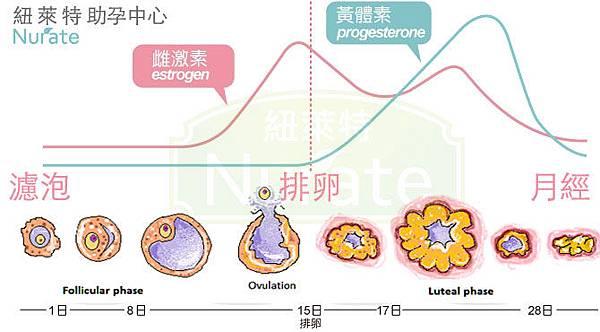 黃體素Progesterone與懷孕.jpg
